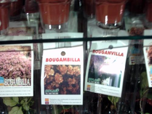 bugamvilla2