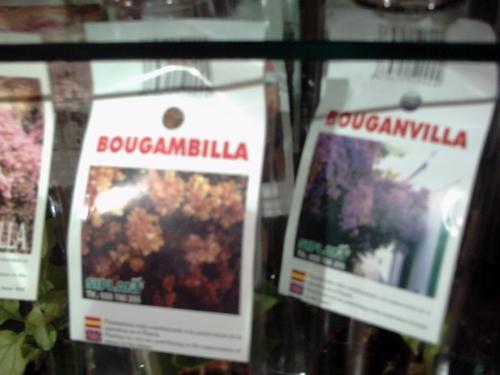 bugamvilla3